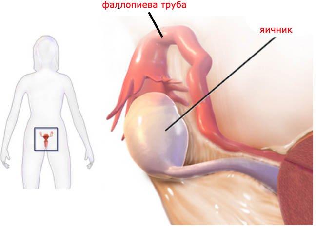 Связь оргазма с яичниками